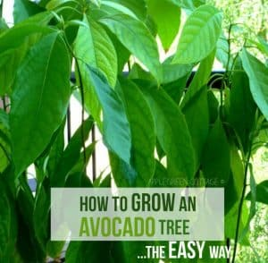 Avocado tree